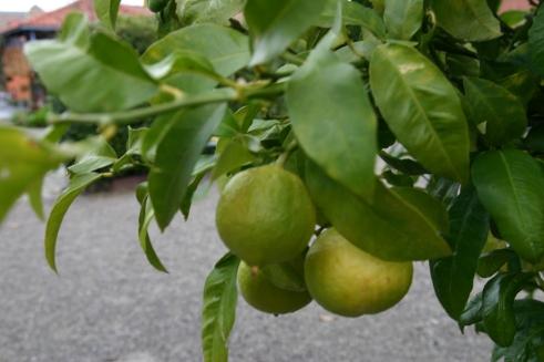 Bergamota ( Citrus auriantium subsp.  bergamia).