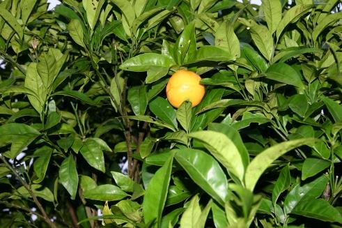 Lima Dulce (Citrus limetta)
