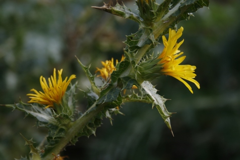 La Tagarnina (Scolymus hispanicus)