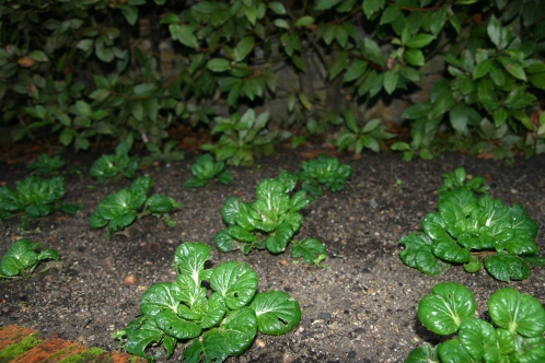 El Tatsoi (Brassica rapa var. rosularis)